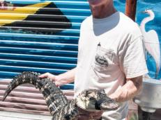Wrestling alligators is a family business in the TV series <i>Growing Up Gator</i>.