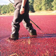 Cranberry Bog in Middleborough, Mass.
